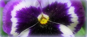 Pansy for Feedblitz Shireen Jeejeebhoy 425x180
